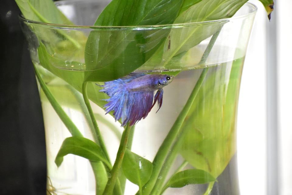 Habitat de un pez betta