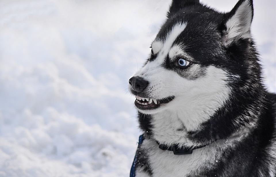 Controlar perro husky agresivo