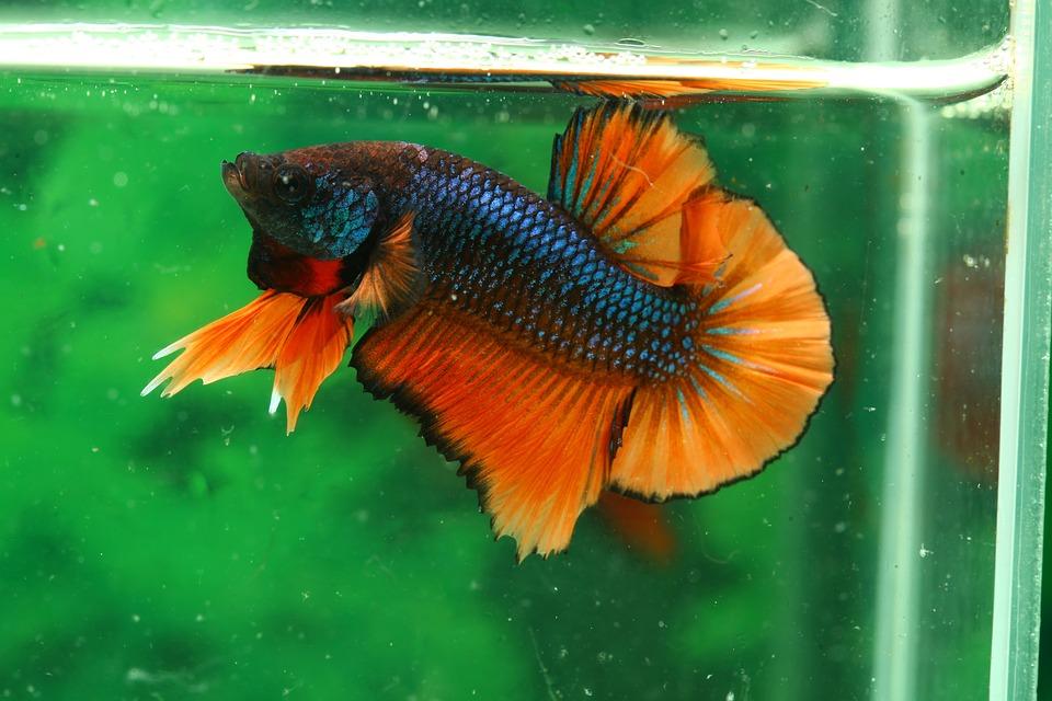 Reproducción de un pez betta
