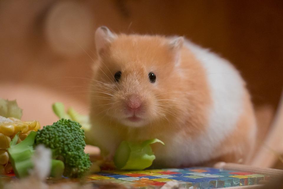 Cómo cuidar de tu hamster