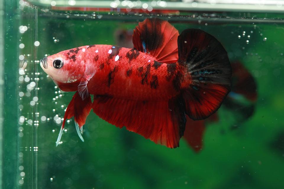 Alimentación de un pez betta