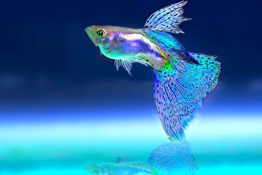 Alimentar peces de acuario