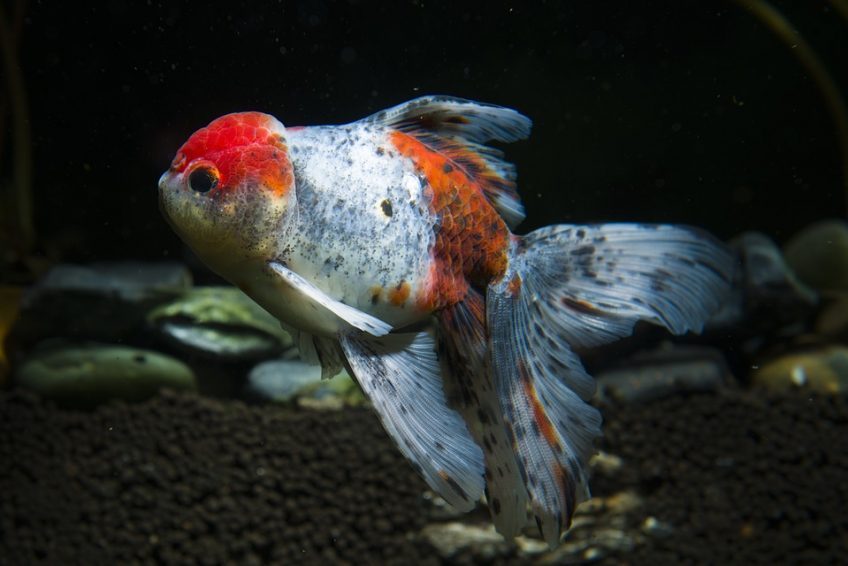 Reproducción de los peces goldfish